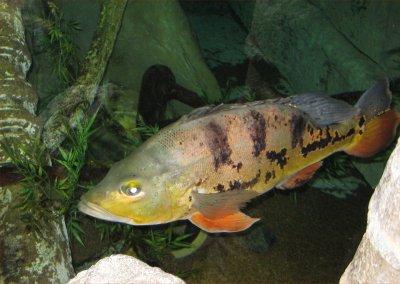 01giantfish